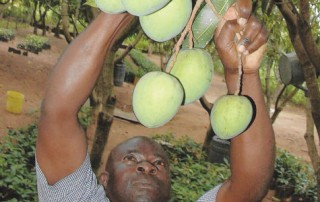 Mango Farming