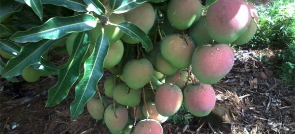 Promoting mango tropical fruit trees in Baringo County