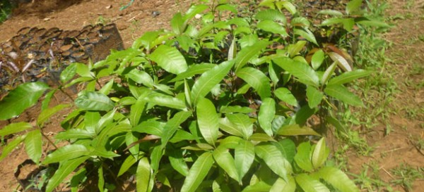 mango-seedlings