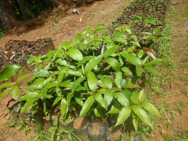 Mango seedlings